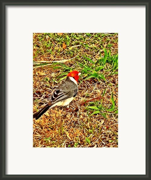 Cardinal In Thought Framed Print By Tiffany Baltrus