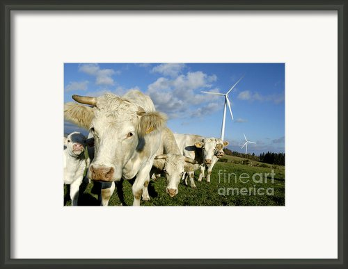 Cattle Framed Print By Bernard Jaubert