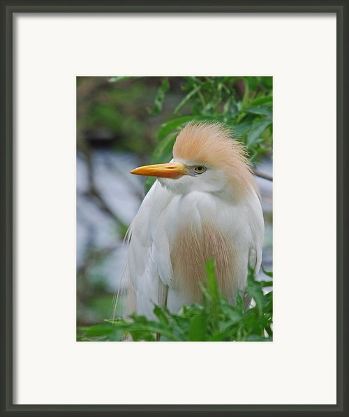 Cattle Egret Framed Print By Skip Willits