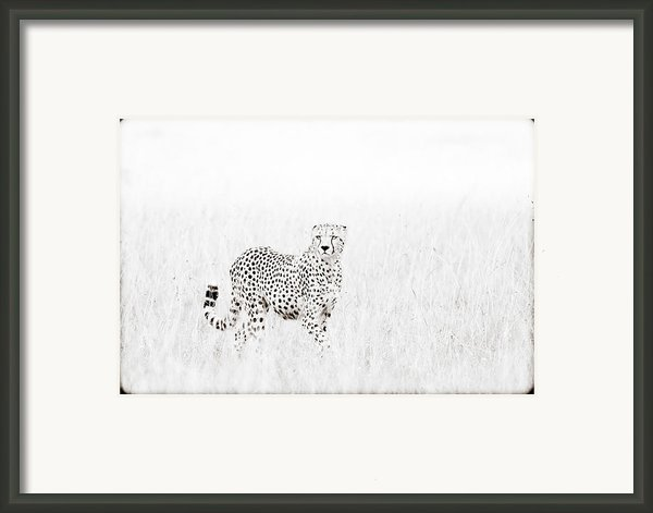 Cheetah In The Grass Framed Print By Mike Gaudaur