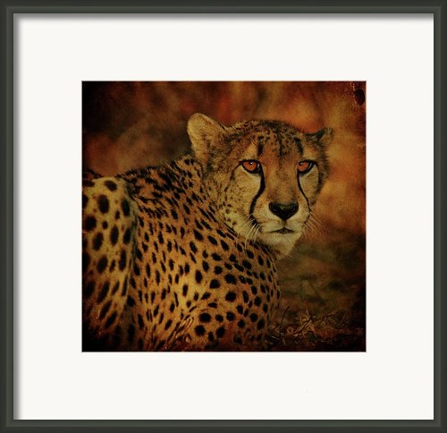 Cheetah Framed Print By Sandy Keeton