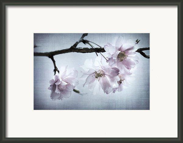 Cherry Blossom Sweetness Framed Print By Kathy Clark