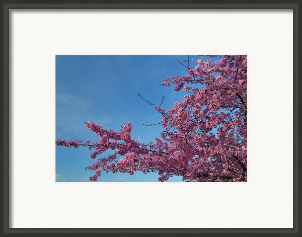 Cherry Blossoms 2013 - 037 Framed Print By Metro Dc Photography
