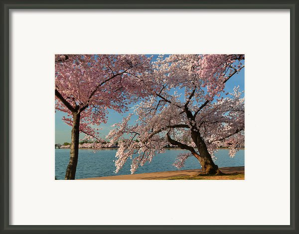 Cherry Blossoms 2013 - 063 Framed Print By Metro Dc Photography