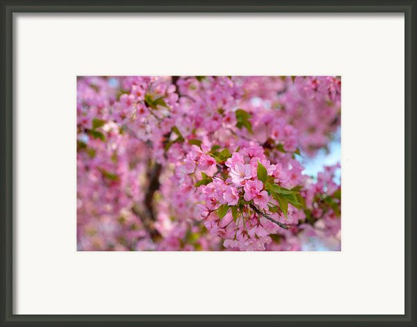 Cherry Blossoms 2013 - 096 Framed Print By Metro Dc Photography