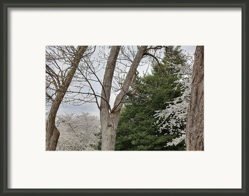 Cherry Blossoms - Washington Dc - 011353 Framed Print By Dc Photographer