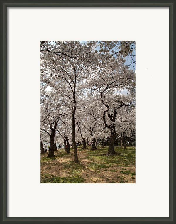 Cherry Blossoms - Washington Dc - 011378 Framed Print By Dc Photographer