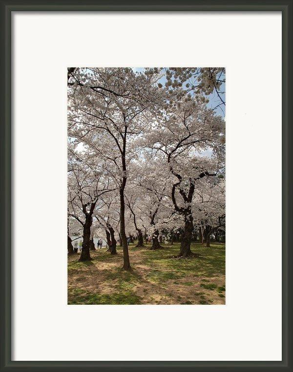 Cherry Blossoms - Washington Dc - 011378 Framed Print By Dc Photographer