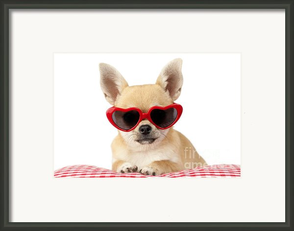 Chihuahua In Heart Sunglasses Dp813 Framed Print By Greg Cuddiford