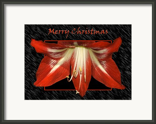 Christmas Amaryllis Framed Print By Carolyn Marshall