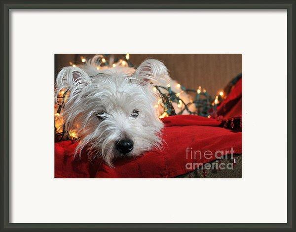Christmas Westie Framed Print By Catherine Reusch  Daley