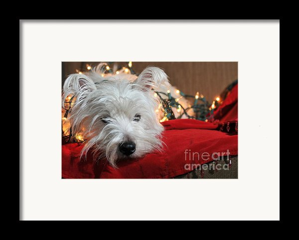 Christmas Westie Framed Print By Catherine Reusch  Daley