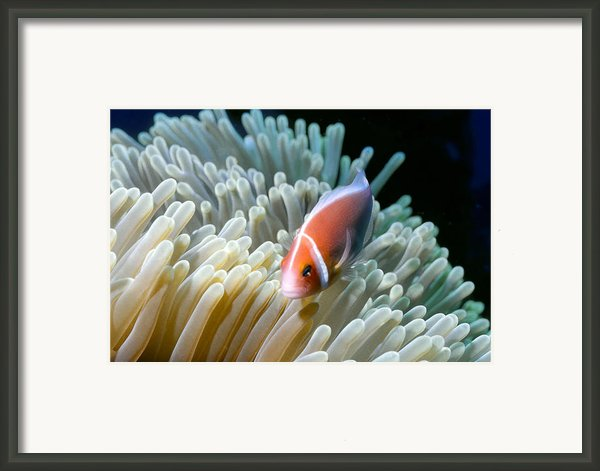 Clownfish 9 Framed Print By Dawn Eshelman