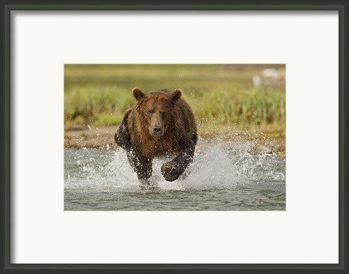 Coastal Grizzly Boar Fishing Framed Print By Kent Fredriksson