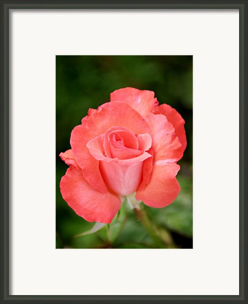 Cobra Rose  Framed Print By Christine Till