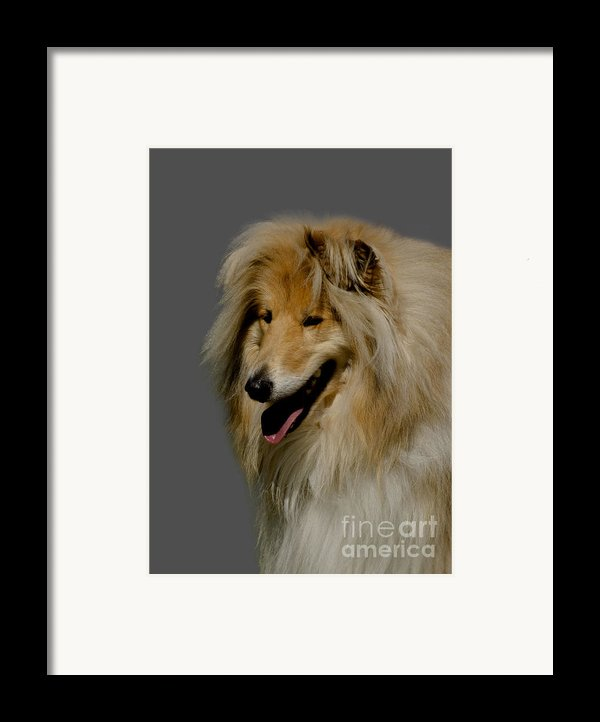 Collie Dog Framed Print By Linsey Williams