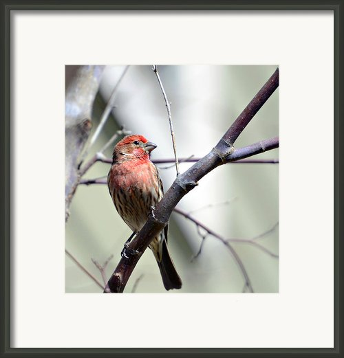 Colorful Bird In Winter Framed Print By Susan Leggett