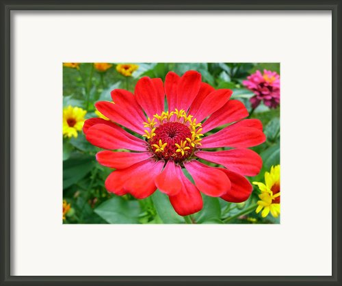 Colorful Blooms Garden Flowers Framed Print By Christina Rollo