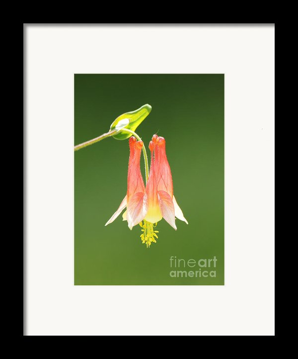 Columbine Flower In Sunlight Framed Print By Robert E Alter Reflections Of Infinity
