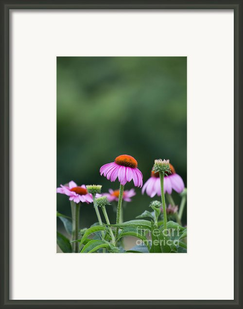 Coneflower Framed Print By Kay Pickens