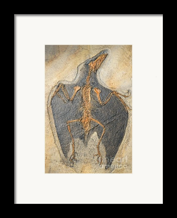Confuciusornis Fossil Framed Print By Millard H Sharp