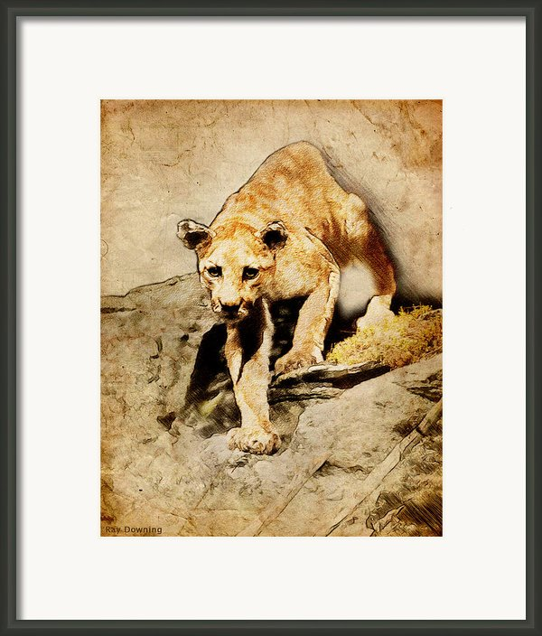 Cougar Hunting Framed Print By Ray Downing