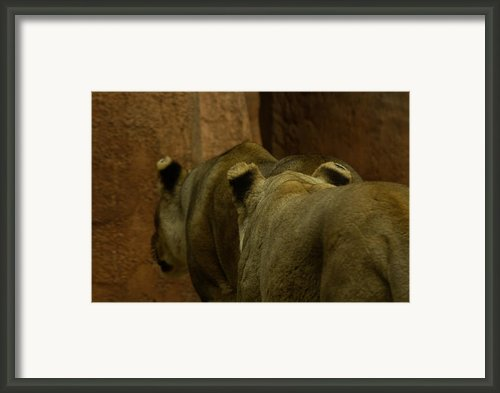 Cougars Walking Away Framed Print By Lindy Spencer