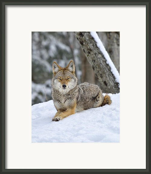 Coyote Beauty Framed Print By Joshua Mccullough
