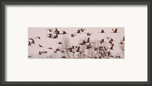 Cranes Across The Sky Framed Print By Don Schwartz