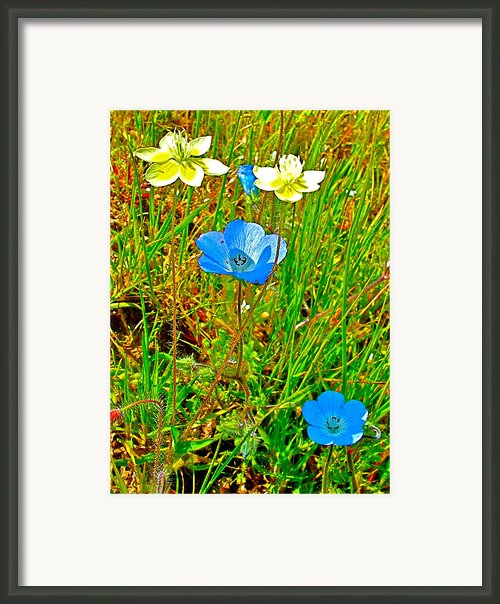 Cream Cups And Baby Blue Eyes In Park Sierra Framed Print By Ruth Hager