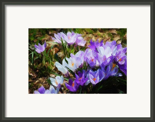 Crocus Fantasy Framed Print By David Lane