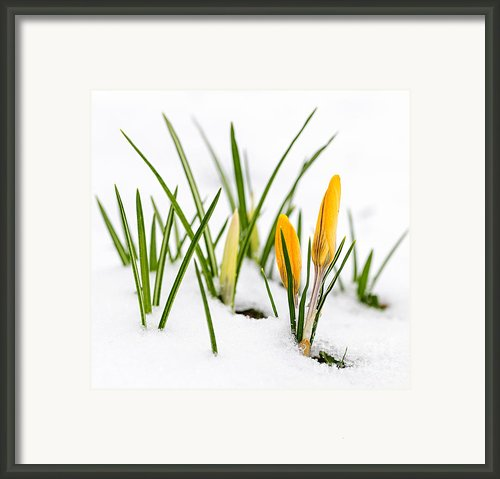 Crocuses In Snow Framed Print By Elena Elisseeva