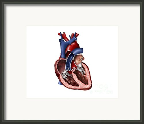 Cross Section Of Human Heart Framed Print By Stocktrek Images