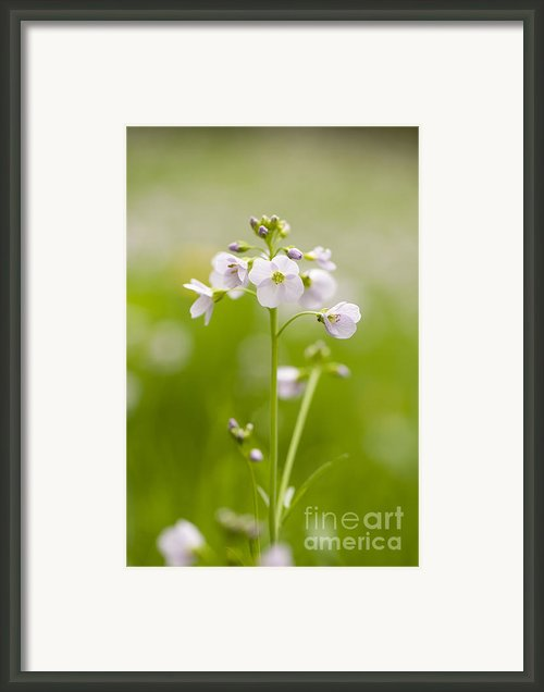 Cuckooflower Framed Print By Anne Gilbert