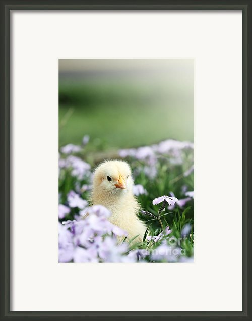 Curious Chick Framed Print By Stephanie Frey