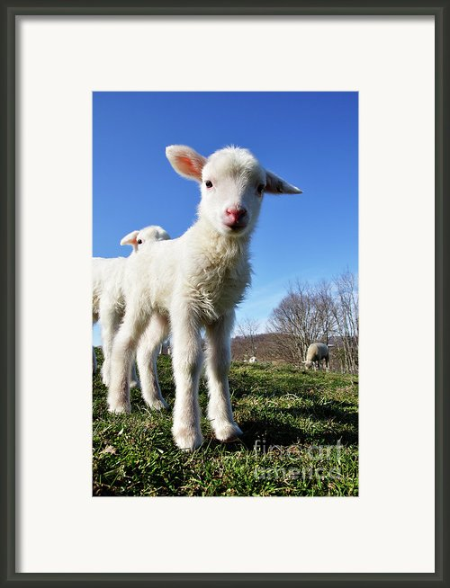 Curious Day Old Lambs Framed Print By Thomas R Fletcher