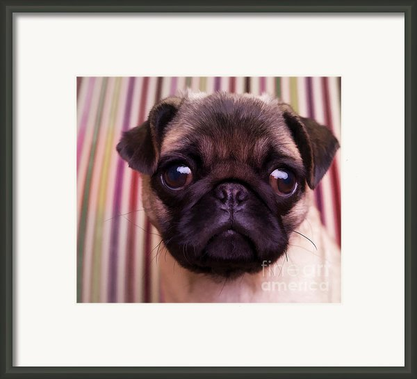 Cute Pug Puppy Framed Print By Edward Fielding