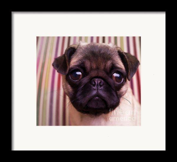 Cute Pug Puppy Framed Print By Edward Fielding