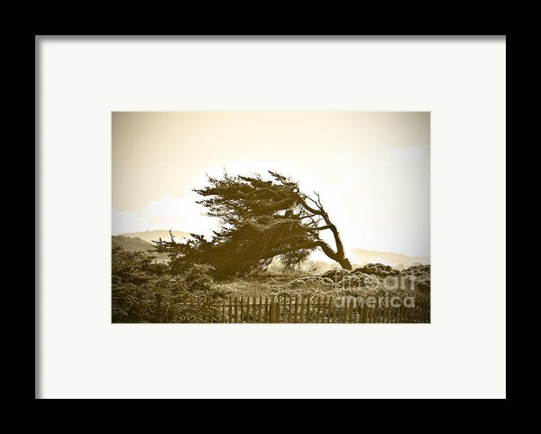 Cypress Trees In Monterey Framed Print By Artist And Photographer Laura Wrede