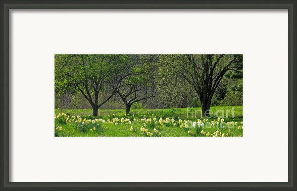 Daffodil Meadow Framed Print By Ann Horn