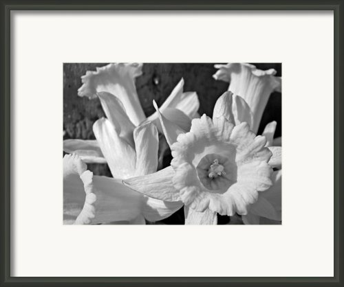 Daffodil Monochrome Study Framed Print By Chris Berry