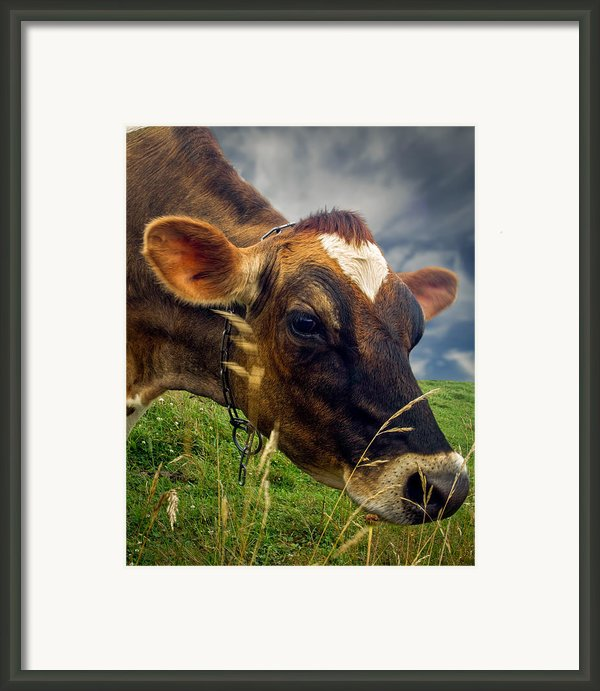 Dairy Cow Eating Grass Framed Print By Bob Orsillo