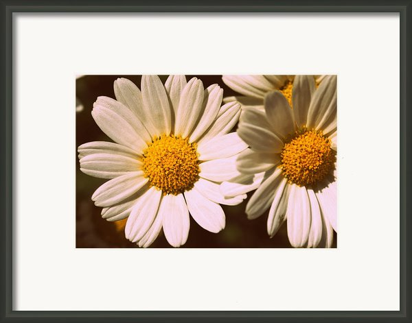 Daisies Framed Print By Chevy Fleet