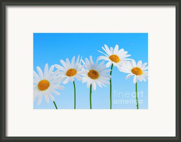Daisy Flowers On Blue Background Framed Print By Elena Elisseeva