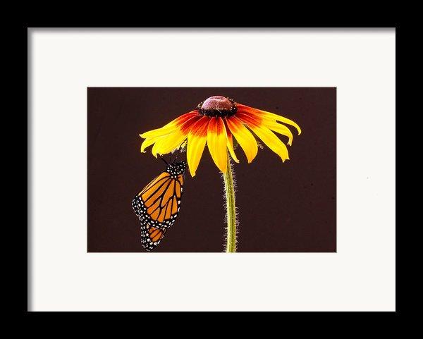 Dangling Monarch Framed Print By Jean Noren