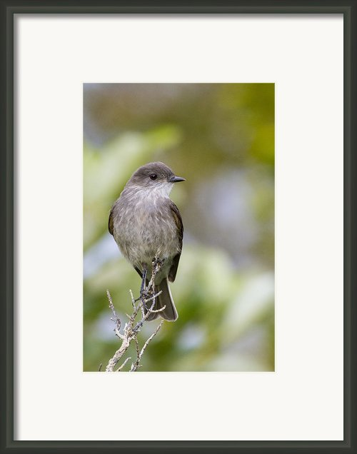 Dark Faced Ground Tyrant On A Perch Framed Print By Tim Grams