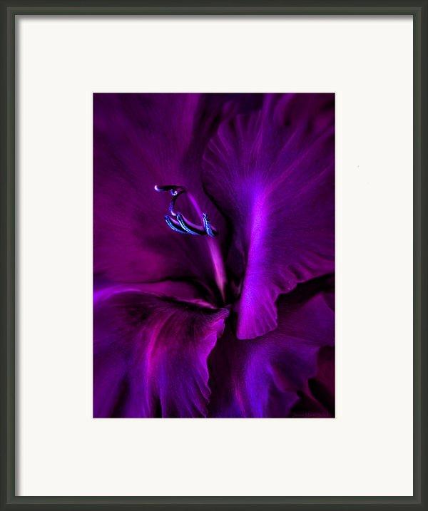 Dark Knight Purple Gladiola Flower Framed Print By Jennie Marie Schell
