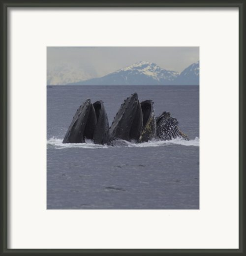 Detail Of Humpback Whales Feeding Framed Print By Tim Grams