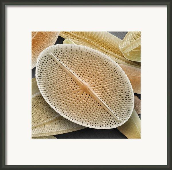 Diatom, Sem Framed Print By Power And Syred