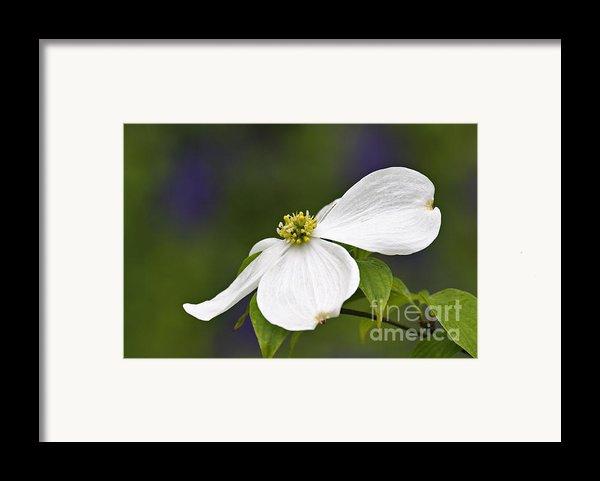Dogwood Blossom - D001797 Framed Print By Daniel Dempster